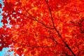 One Beautiful Red Maple Tree!! (Live Tree)