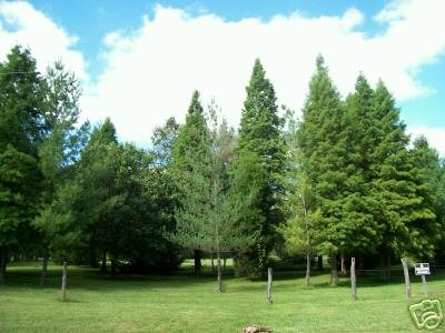 Two  Beautiful Virginia Pine Trees!