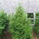 2 Red Cedar Trees! (Beautiful Evergreens!)
