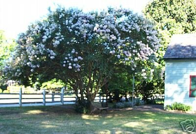 Two Beautiful White Crape Myrtle Trees!