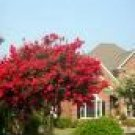 Two Beautiful Red Crape Myrtle Trees!!