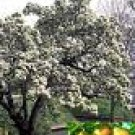 One Beautiful Bartlett Pear Tree!!