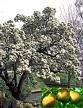 One Beautiful Bartlett Pear Tree!!