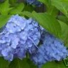Two Nikko Blue Hydrangeas!! (Beautiful Blooms)!