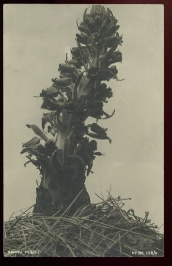 Rare Azo Real Photo postcard of Snow Plant