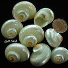 24 Small Pearl Turbo Cinerious Seashells - FREE ship!