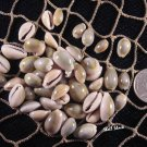 1/4 lb Bulk Small Blue-Top Cowrie Shells