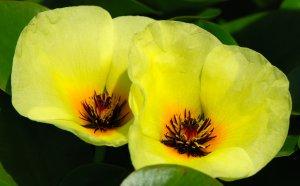 3 Water Poppy Plants (Pond Plants)