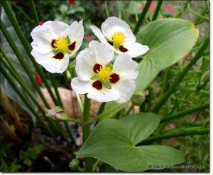 3 Arrowheads (Pond Plants)