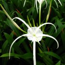 2 Spider Lilies (Pond Plants)