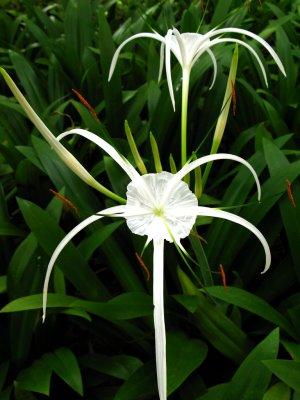 2 Spider Lilies (Pond Plants)