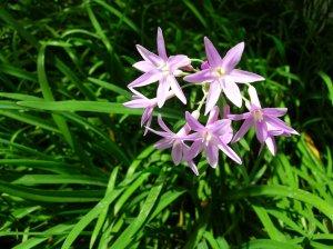 3 Society Flowers (Pond Plants)
