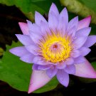 Blue Capensis Water Lily (Pond Plants)