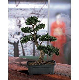 Podocarpus Bonsai Tree 24 in