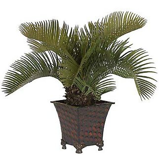 Potted Cycas Palm Silk Plant