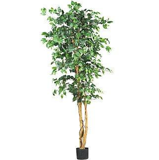 6' Ficus Silk Tree