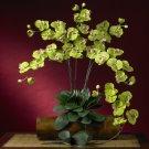 Phalaenopsis Stem
