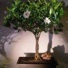 Flowering Gardenia Bonsai Tree