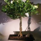 Flowering Gardenia Bonsai Tree