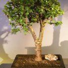 Baby Jade Bonsai Tree