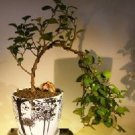 Mistletoe Fig- Cascade Style