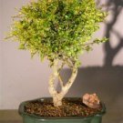 Flowering Tropical Boxwood Bonsai Tree