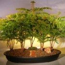 Norfolk Island Pine Bonsai Tree Forest