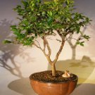 Flowering Jaboticaba Bonsai Tree