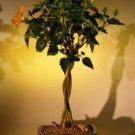 """Flowering """"Mango Mist"""" Tropical Hibiscus"""