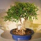 Willow Leaf Ficus Bonsai Tree