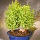 Lemon Cypress Bonsai Tree