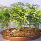 Norfolk Island Pine Bonsai Tree