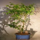Flowering Brazilian Raintree Bonsai Tree