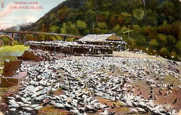 Pigeon Farm in Los Angeles California CA Vintage Postcard - 3841