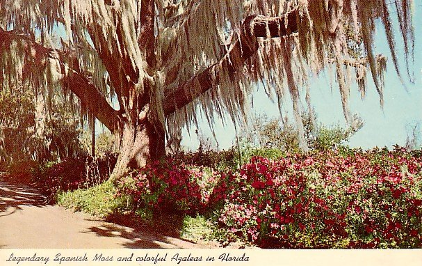 Spanish Moss and Colorful Azaleas in Florida 1962 Curt Teich Chrome Postcard - 0077