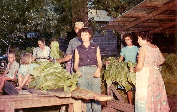 Stripping Tobacco in Alabama Chrome Postcard - 2083