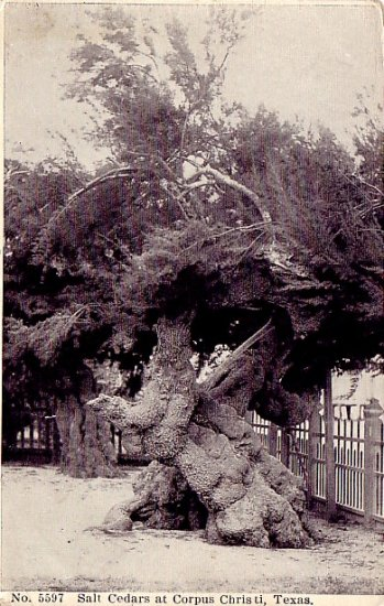 Salt Cedars at Corpus Christi Texas TX 1908 Vintage Postcard - 2331
