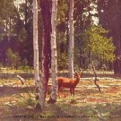 Mule Deer in Kaibab Forest in Arizona AZ, Linen Postcard - 2694