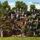 Suicide Oak at City Park in New Orleans Louisiana LA, Linen Postcard - 2787