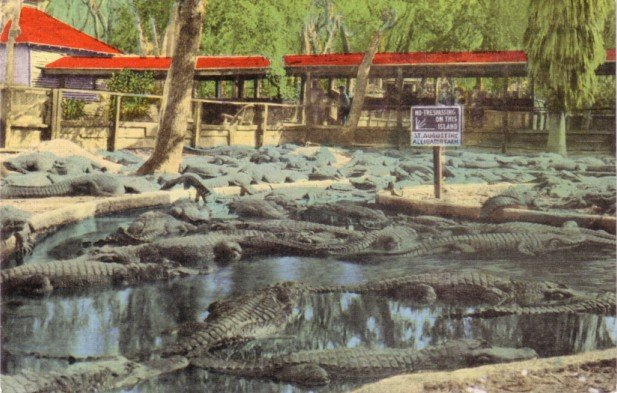 St. Augustine Alligator Farm in Florida FL, Mid Century Linen Postcard - 3147
