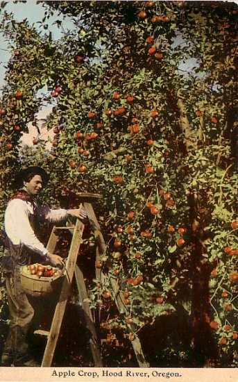 Apple Crop at Hood River Oregon OR, Vintage Postcard - 3234