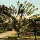 Travelers Tree in Florida FL, 1910 Vintage Postcard - 3733