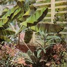 Banana Plants in Florida FL, Vintage Postcard - 4005