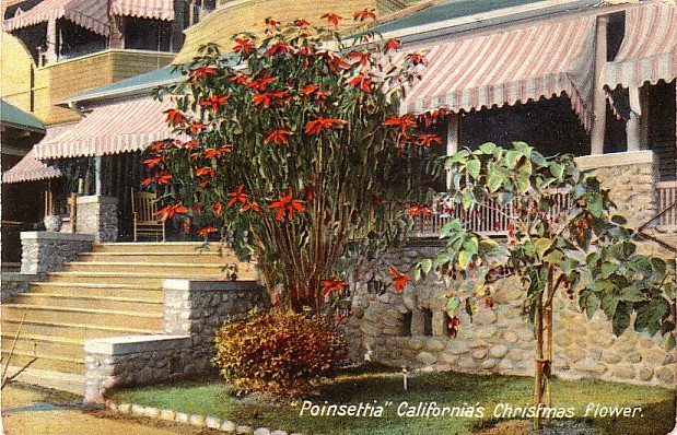 Poinsettia Christmas Flower Growing in California CA, Vintage Postcard - 4015