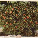 Hibiscus in Bloom in Florida FL, Vintage Postcard - 4033