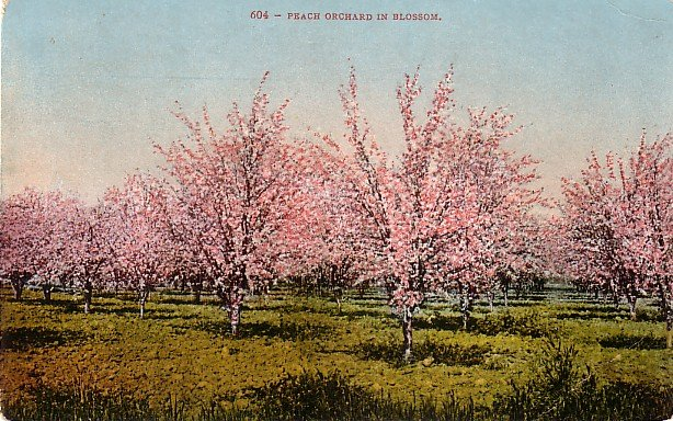 Peach Orchard in Blossom, Edward H Mitchell 1909 Vintage Postcard - M0005