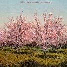 Peach Orchard in Blossom, Edward H Mitchell 1909 Vintage Postcard - M0005