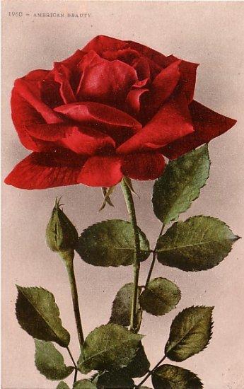 American Beauty Rose,  Edward H Mitchell 1909 Vintage Postcard - M0031