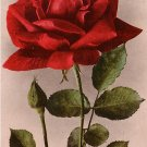 American Beauty Rose,  Edward H Mitchell 1909 Vintage Postcard - M0031