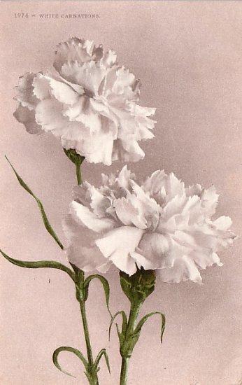 White Carnations, Edward H Mitchell 1909 Vintage Postcard - M0033